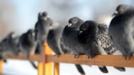 A flock of blue gray pigeons sitting on the fence and then flies away video