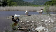 A flock of colorful ducks on the waterfront and mountains in the background video