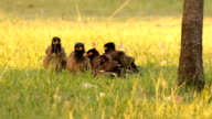flock of common myna swelling its feather video