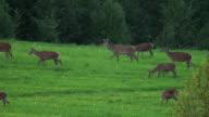Flock of deers video