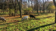 Flock of domestic goats in the early morning video
