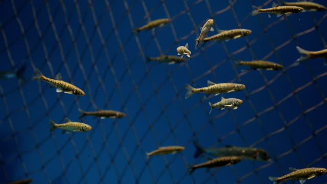 Flock of fishes slowly swims in reservoir with water video