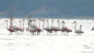 Flock of flamingos video