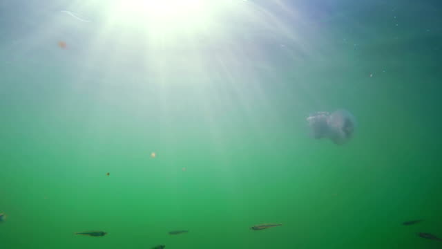 A Flock of Fry  Near  Jellyfish Against the Sun's Rays. video