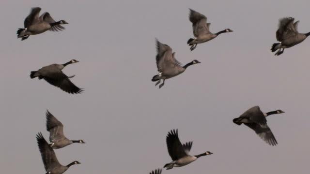 Flock of Geese video