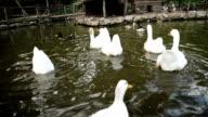 Flock of geese. video