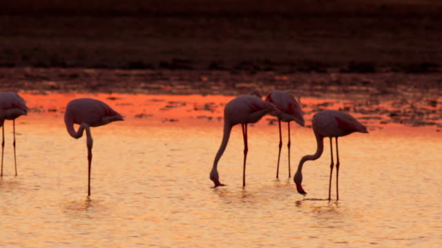 Flock of majestic pink flamingos in water at beautiful sunset video