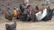 Flock of Noisy Chickens video