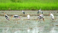 flock of painted stork bird, feeding on nature video