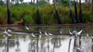 Flock of pelicans fishing in the rice video