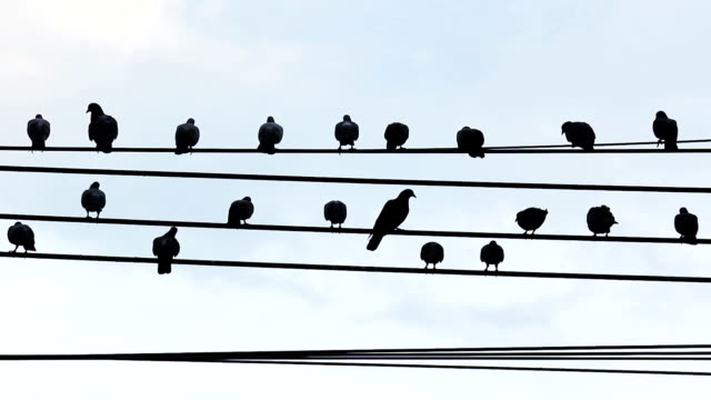Flock of pigeon birds roosting on cable wires video