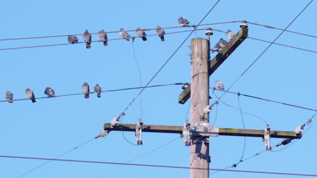 Flock of Pigeon Birds Sitting on a Wire by Power Line Pole with Blue Sky video