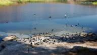 Flock of Pigeon in Jodhpur video