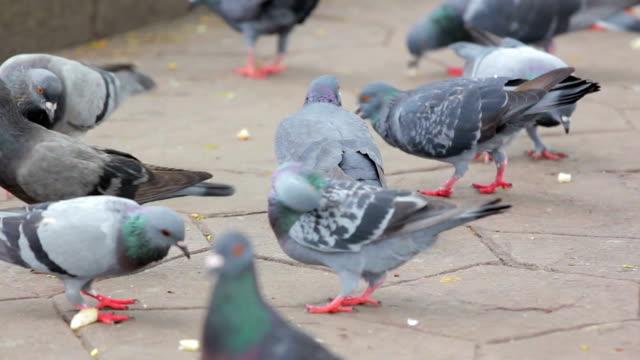 Flock of pigeons eating food video