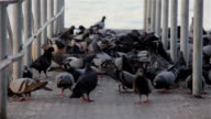 flock of pigeons eating grains video