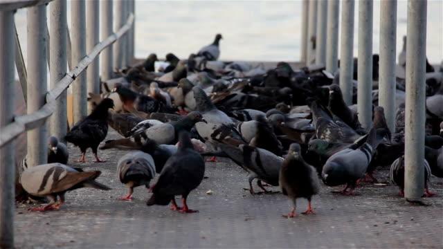 flock of pigeons eating grains video