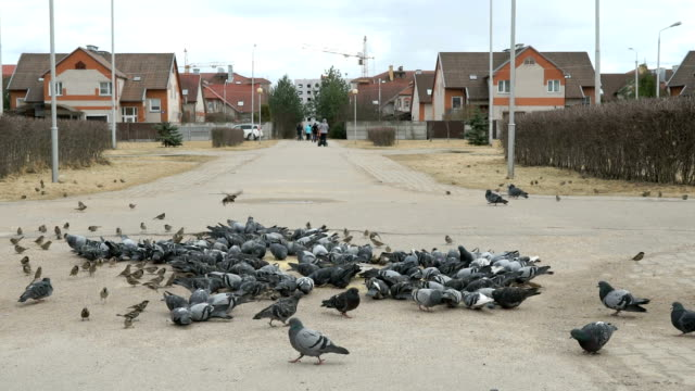 Flock of pigeons eating switchgrass on street video