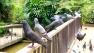 Flock of pigeons eating video