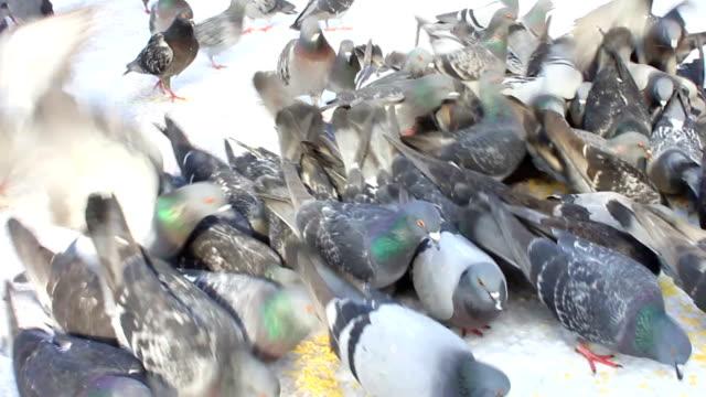 Flock of pigeons feeding in snow video