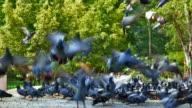HD Flock of Pigeons Flying Off video