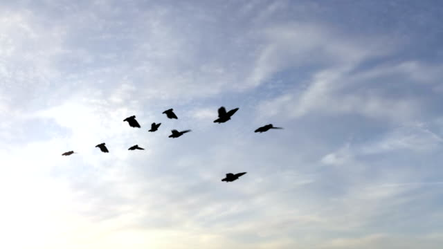 Flock of Pigeons with Skies video
