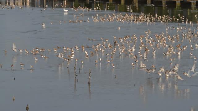 Flock of sea birds. video