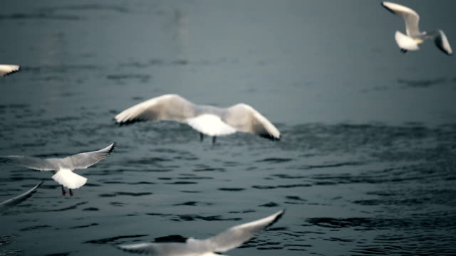 A flock of sea gulls flying and fishing over sea video