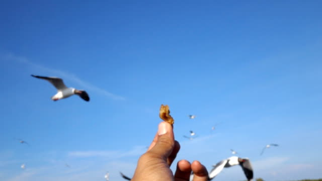 Flock of Seagull flying and eating food from hand,Slow motion video