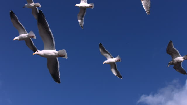 Flock of seagulls fly overhead, slow motion video