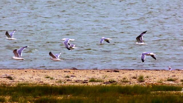 Flock of seagulls fly, slow motion video