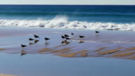 Flock of Seagulls Sitting on the Beach Ocean with Waves, Atlantic ocean video