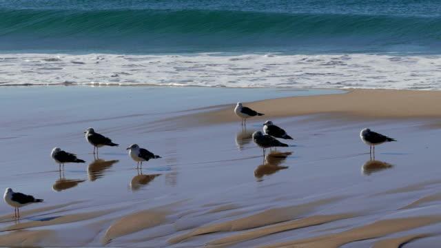 Flock of Seagulls Sitting on the Beach Ocean with Waves, Atlantic ocean video