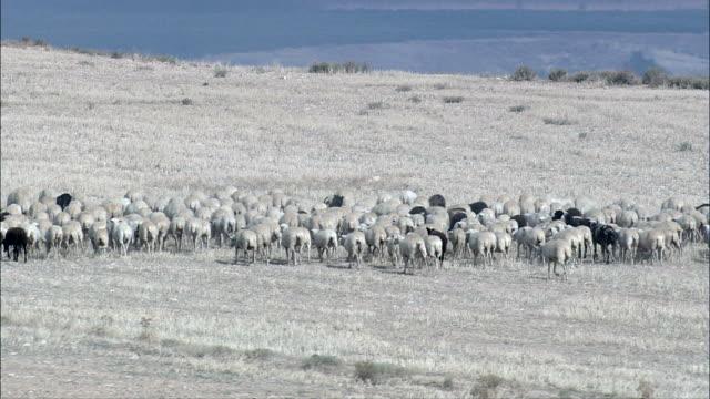 Flock of sheep - Aerial View - Aragon, Huesca, Alcolea de Cinca, Spain video