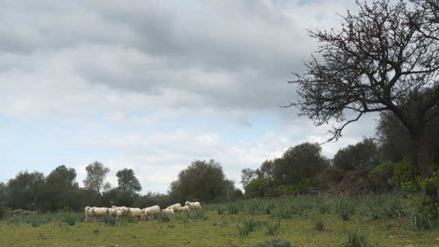 Flock of sheep and lambs in natural landscape video