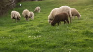 Flock of Sheep at Sunset - Rebaño de Ovejas  Atardecer video
