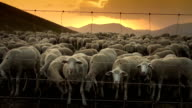 Flock of Sheep at sunset video