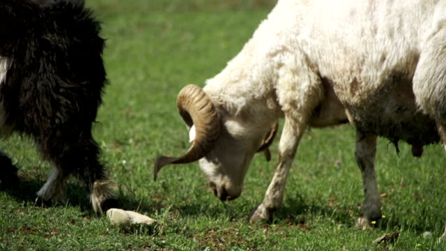 Flock of Sheep Grazing and Eat Grass on Meadow. Animals Walk on Field. Slow Motion video