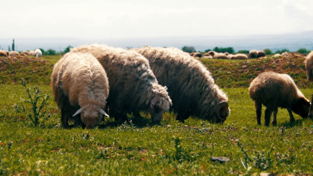 Flock of Sheep Grazing and Eat Grass on Meadow. Animals Walk on Field video