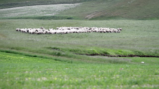 Flock of Sheep Grazing and Moving on a Field video