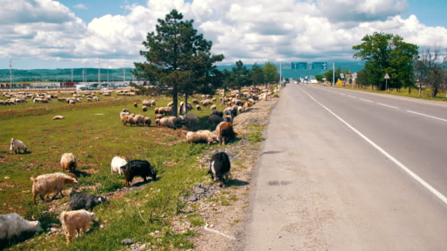 Flock of Sheep Grazing in the Field near the Highway video