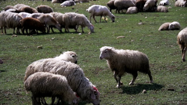 Flock of Sheep Grazing on a Field against the Backdrop of the Mountains. Slow Motion video