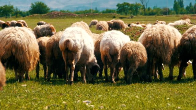 Flock of Sheep Grazing on a Field against the Backdrop of the Mountains video