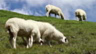 Flock of Sheep Grazing on a Field video