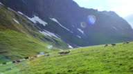 Flock of sheep grazing on a green High Mountains hill and move down video