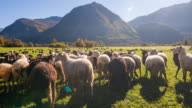 Flock of sheep grazing on a pasture video