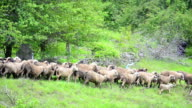 Flock of Sheep Grazing on Hill, Pastoral Landscape video