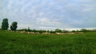 Flock of Sheep Grazing Time Lapse video