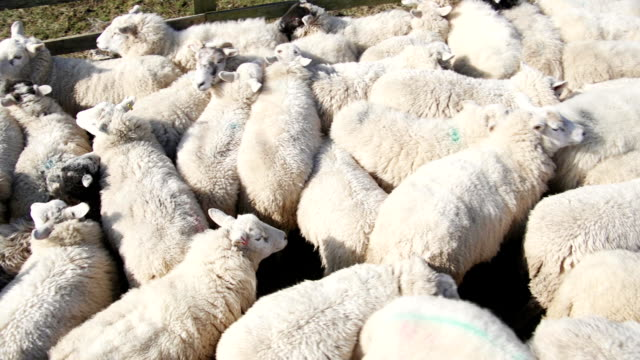 Flock of Sheep in a Pen video