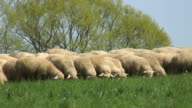 Flock of sheep on a meadow video