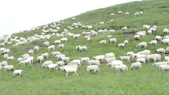 flock of sheep on meadow video